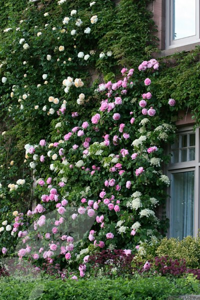 rose Gertrude Jekyll  (shrub)
