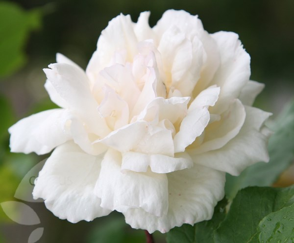 rose Madame Alfred Carrière (climbing noisette)