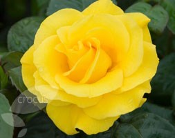Rosa Golden Wedding ('Arokris') (PBR) (rose Golden Wedding (floribunda/hybrid tea))
