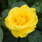 Rosa Golden Wedding ('Arokris') (PBR)