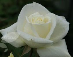 Rosa Polar Star ('Tanlarpost') (PBR) (rose Polar Star (hybrid tea))