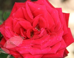 Rosa 'Ruby Wedding' (rose Ruby Wedding (hybrid tea))