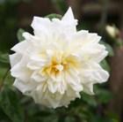 rose Alberic Barbier (rambler)