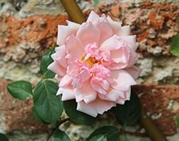 Rosa 'Albertine' (rose Albertine (rambler))