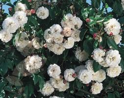 Rosa 'Felicite Perpetue' (rose (rambler))