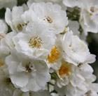 rosa (rambler)