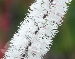 Actaea simplex 'Atropurpurea Group' (bugbane (syn. Cimicifuga))