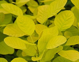 Cotinus coggygria Golden Spirit ('Ancot') (PBR) (smoke bush)