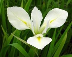 Iris laevigata 'Snowdrift' (water iris)