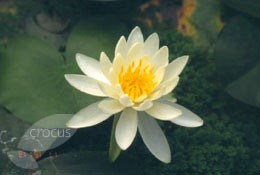 Nymphaea 'Large White' (water lily)