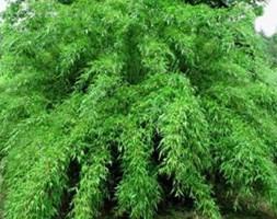 Fargesia murielae (umbrella bamboo)
