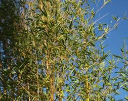 Phyllostachys aurea (fishpole bamboo)