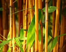 Phyllostachys aureosulcata f. aureocaulis (yellow-groove bamboo)