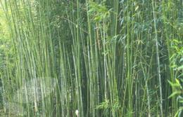 Phyllostachys bissetii (Phyllostachys Bamboo)