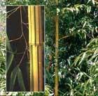 phyllostachys bamboo