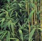 arrow bamboo 'japonica'
