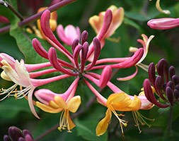 Lonicera x heckrottii 'Gold Flame' (honeysuckle (syn American Beauty))