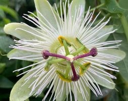 Passiflora caerulea 'Constance Eliott' (passion flower)