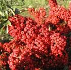 firethorn (syn. Saphyr Red)