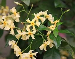Trachelospermum asiaticum (Chinesse jasmine)