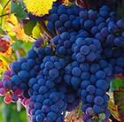 Vitis vinifera black hamburg Schiava Grossa