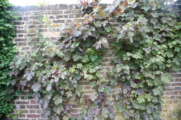 purple-leaved grape vine