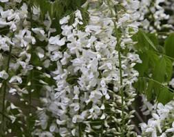 Wisteria floribunda 'Alba' (white Japanese wisteria)