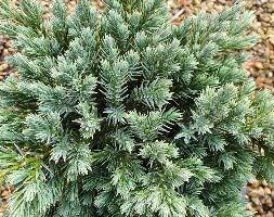 Juniperus squamata 'Blue Star' (flaky juniperus)