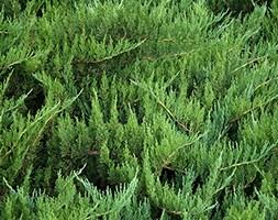 Juniperus x pfitzeriana 'Mint Julep' (juniper)