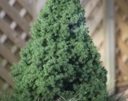 Picea glauca var. albertiana 'Conica' (Picea glauca var. albertiana 'Conica')