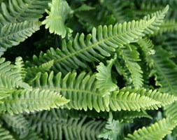 hard fern , deer fern