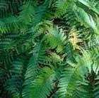 soft shield fern