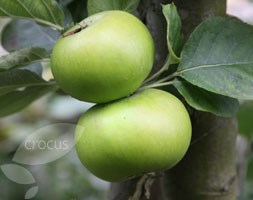 apple 'Bramley's Seedling' (apple)