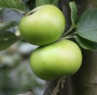 apple Bramley's Seedling