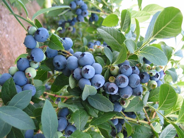 blueberry  - mid-season fruiting