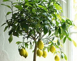 Lemon Gareys Eureka ( Four Seasons) (lemon ( syn Four Seasons ))