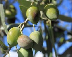 Olea 'europaea' (mini olive)