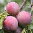plum Marjorie's Seedling