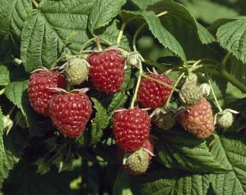 raspberry - autumn fruiting