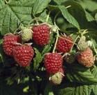 raspberry - autumn fruiting