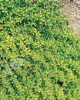 Thymus pulegioides 'Aureus' (golden-scented thyme)
