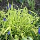 Bowles' golden grass