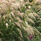 pheasant grass