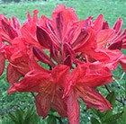 Rhododendron Koster's Brilliant Red
