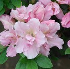Rhododendron Betty Anne Voss