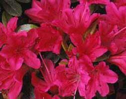 Rhododendron 'Kazuko' (evergreen azalea (syn. Geisha Red))