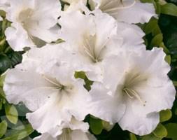 Rhododendron 'Gumpo White' (evergreen azalea)
