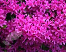 Rhododendron 'Hatsugiri' (evergreen azalea)