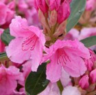 hybrid rhododendron (syn. Pink pearl)