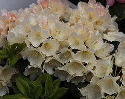 Rhododendron 'Golden Torch' (rhododendron)